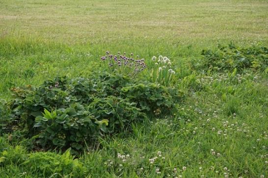 metsistunud-maasikapeenar